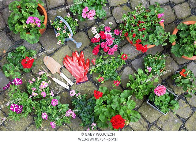Various potted spring and summer flowers, gardening tools and gloves on cabblestone pavement, top view