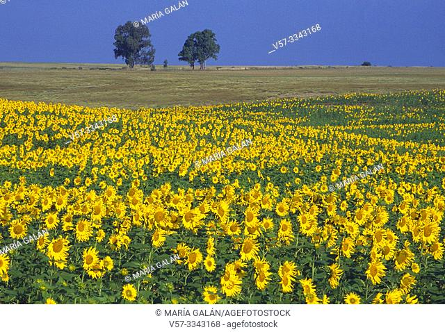 Sunflower field. Sevilla, Spain