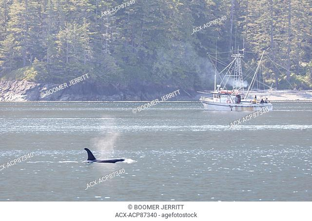 A Killer Whale transits the waters near Robson Bight as a gillneting fishing boat works to catch Sockeye, Johnstone Strait