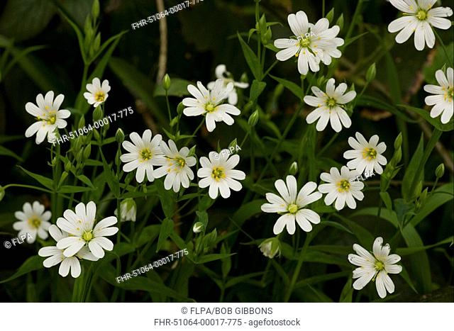 Greater Stitchwort Stellaria holostea flowering, North Wales, spring