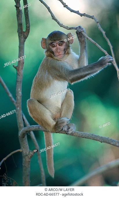 Young Rhesus Monkey Corbett India Macaca mulatta