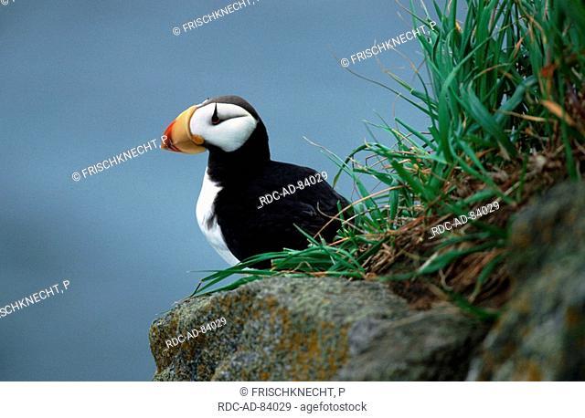 Horned Puffin Round Island Alaska USA Fratercula corniculata