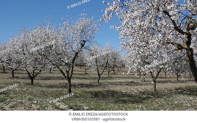 Almond tree flowers. Lleida, Catalonia, Spain