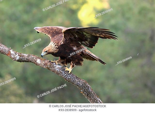 äguila Real (Aquila chrysaetos) en Extremadura, Spain