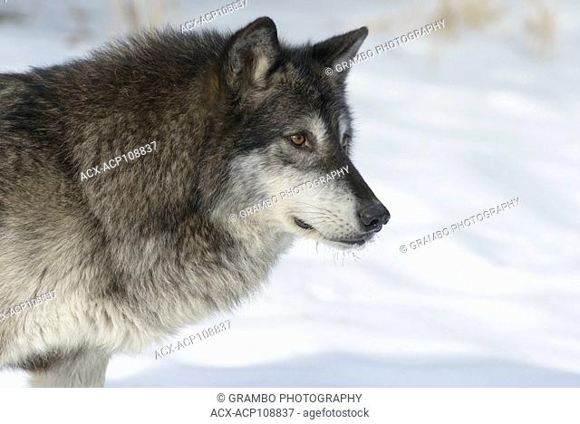 Gray Wolf, Canis lupus,in winter, Montana, USA