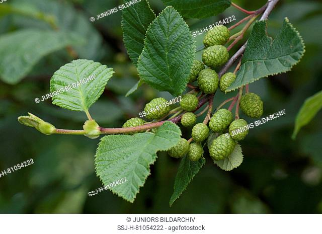 Green Alder (Alnus viridis), twig with leaves and green fruit. Sale in German-speaking countries only