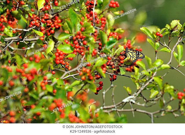 Hawthorn Crataegus spp  Fruit with roosting migratory monarch butterfly