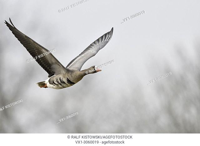 Greater White-fronted Goose (Anser albifrons), arctic winter guest, huge wingspan, in flight, frontal side view, wildlife, Germany, Europe