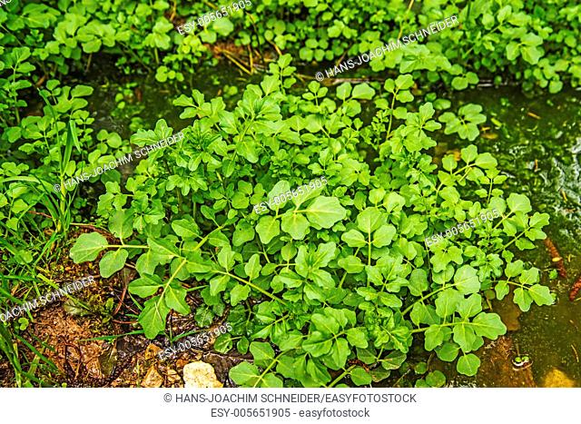 water cress, Nasturtium officinale in a forest in Germany