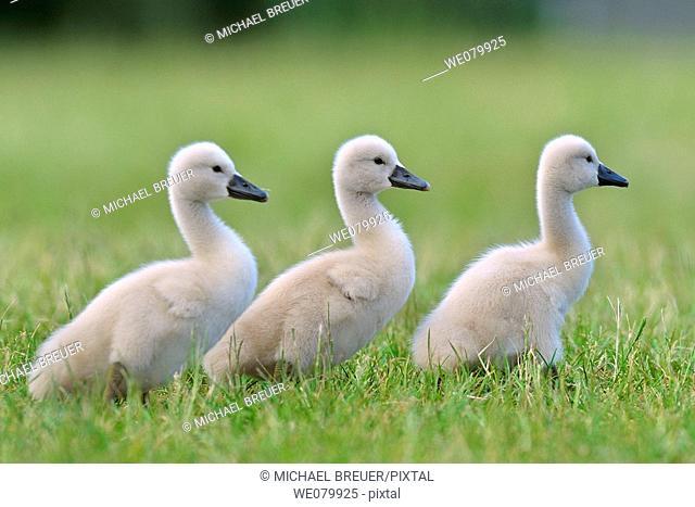 Mute swan, Chicks, Cygnus olor, May, Germany