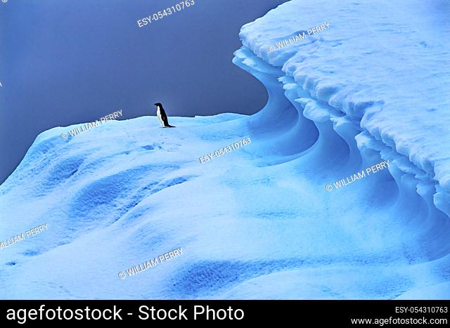 Adelie Penguin Blue Iceberg Charlotte Bay Antarctic Peninsula Antarctica. Glacier ice blue because air squeezed out of snow