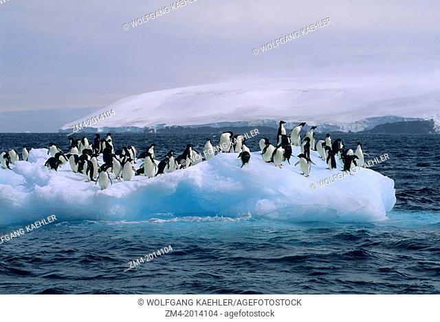 ANTARCTICA, PAULET ISLAND, ADELIE PENGUINS ON ICEBERG/ICEFLOE