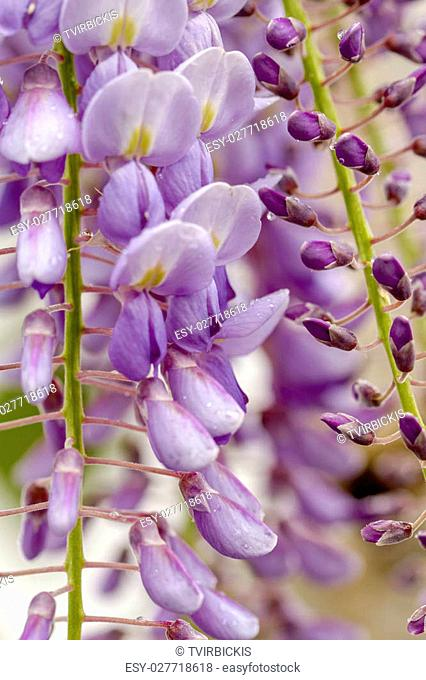 Close up of purple wisteria blooms hanging on vines