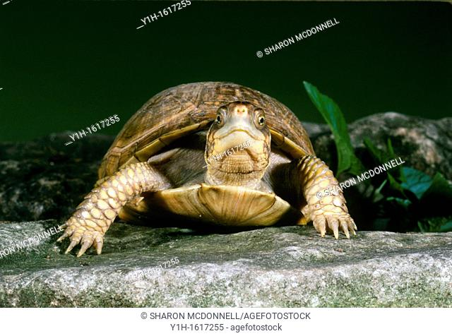 Female Common Box Turtle (Terrapene carolina) making eye contact as she walks in garden on stone pathway