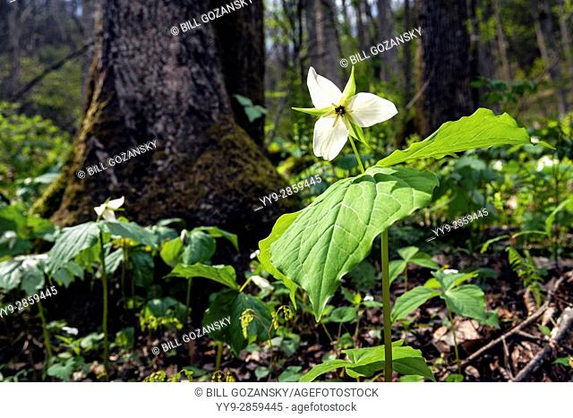 White Trillium (Normal DOF) - Holmes Educational State Forest, Hendersonville, North Carolina, USA