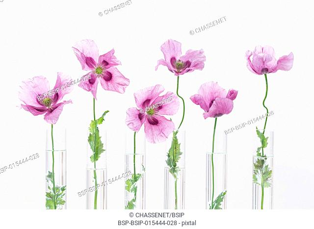 Opium purple Poppy in test tube for herbal medicine test and essential oil on concept of medicinal research