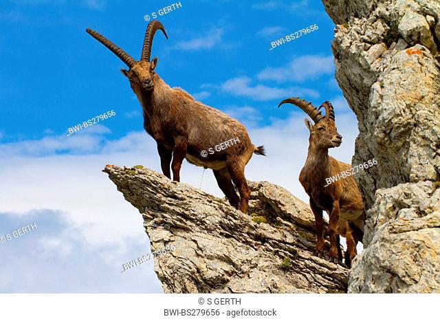 alpine ibex Capra ibex, two alpine ibexes standing on rock spur, Switzerland, Alpstein, Saentis