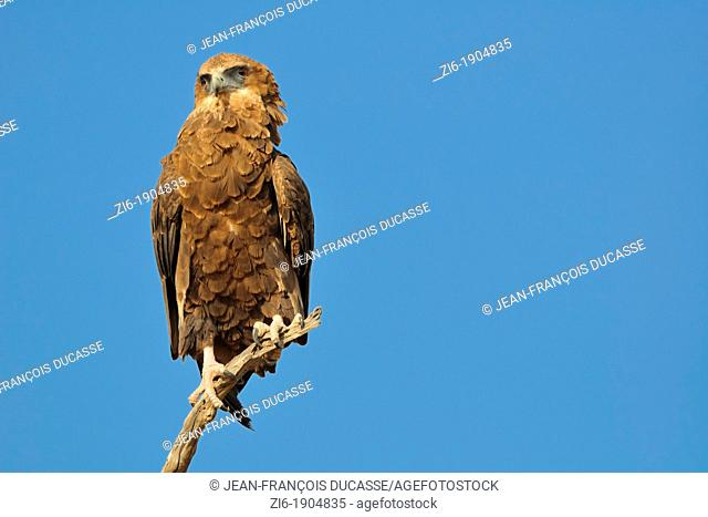 Bateleur Eagle, Terathopius ecaudatus, perching, Kgalagadi Transfrontier Park, Northern Cape, South Africa