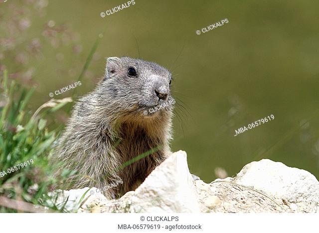 Stelvio National Park, Lombardy, Italy, Alpine marmot