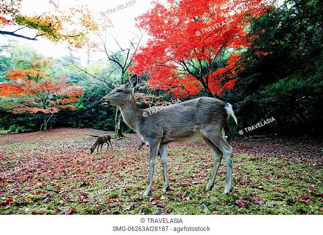 Deers in front of trees with red leaves. Miyajima Island, Omoto Park. Japan
