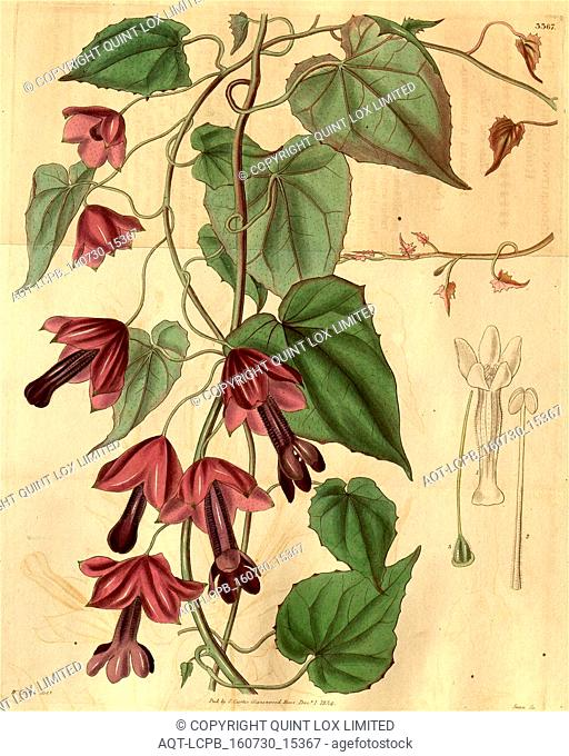 Botanical Print by Walter Hood Fitch 1817 – 1892, W.H. Fitch was an botanical illustrator and artist, born in Glasgow, Scotland, UK, colour lithograph