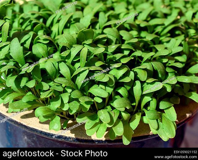 Gartenkresse, Lepidium Sativum, ist eine wichtige Heil- und Medizinalpflanze. Das Kuechenkraut wird auch in der Frankfurter Gruene Sosse verwendet