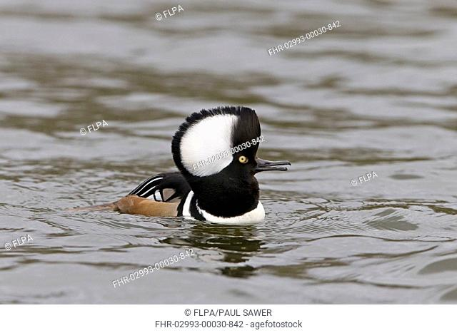 Hooded Merganser (Lophodytes cucullatus) adult male, with raised crest, calling and swimming, Pensthorpe Nature Reserve, February (captive)