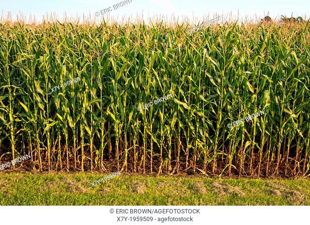 Rows of corn in Bowenville, Ontario, CA