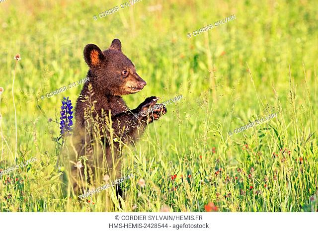 United States, Minnesota, Babies black bear (Ursus americanus), in a meadow with wild lupins