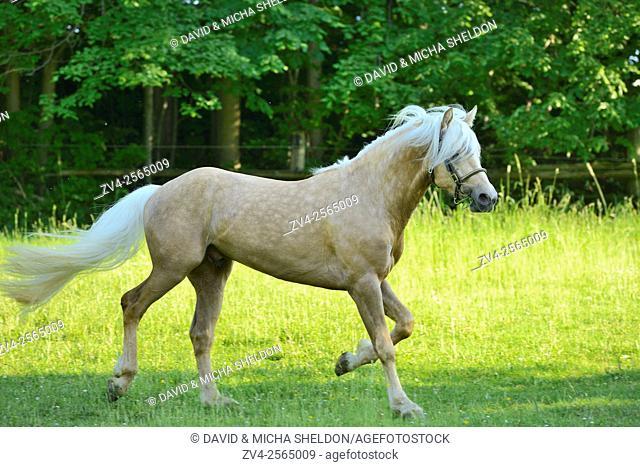 Connemara stallion running on a big paddock, Germany