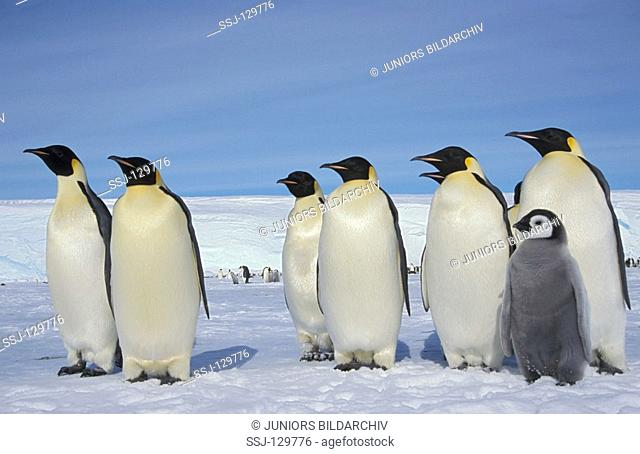 emperor penguins with cub - Aptenodytes forsteri