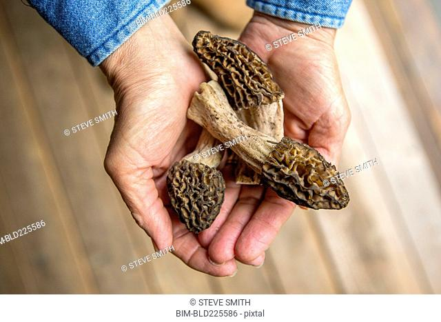 Hands of Caucasian woman holding morels