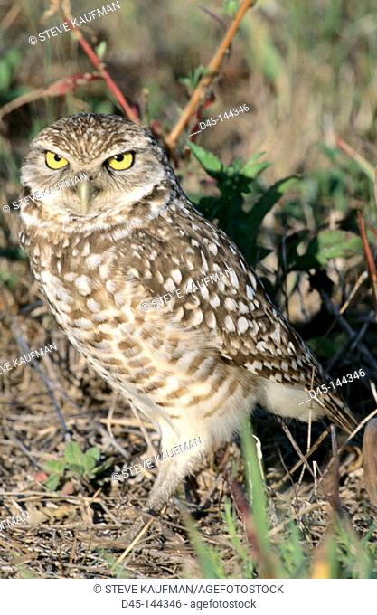 Burrowing Owl (Speotyto cunicularia). Florida. USA