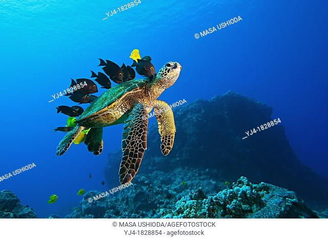 Endangered species, Green Sea Turtle, Chelonia mydas, being cleaned by Yellow Tang, Zebrasoma flavescens, Gold-Ring Surgeonfish, Ctenochaetus strigosus