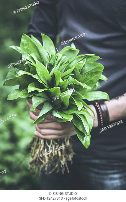 Hands holding freshly harvested wild garlic