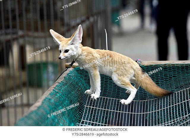 Young fox, Hallim Park, Jeju island, South Korea