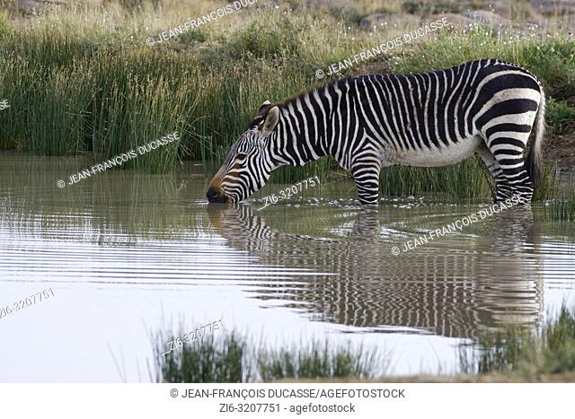 Cape mountain zebra (Equus zebra zebra), adult in water, drinking, Mountain Zebra National Park, Eastern Cape, South Africa, Africa
