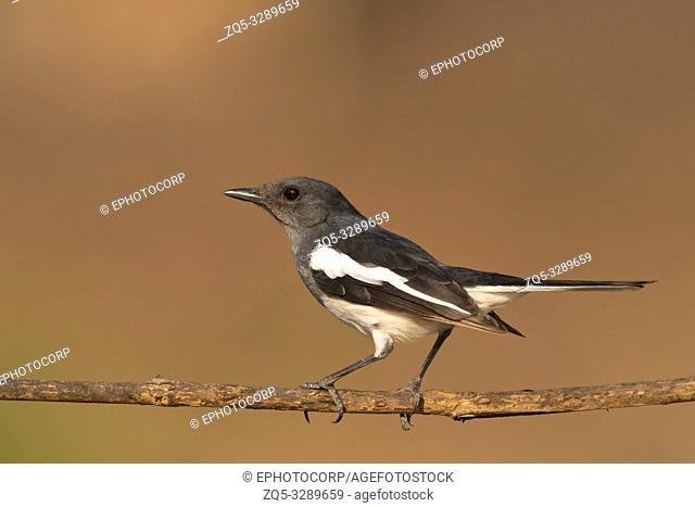 Oriental magpie-robin, Copsychus saularis female, Western ghats, India