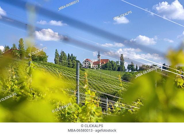 Europe, Slovenia, Vineyard below the hilltop church of Jeruzalem near Ljutomer