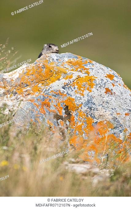 Nature - Fauna - Marmot - Young marmot on a rock in the natural regional park of Queyras