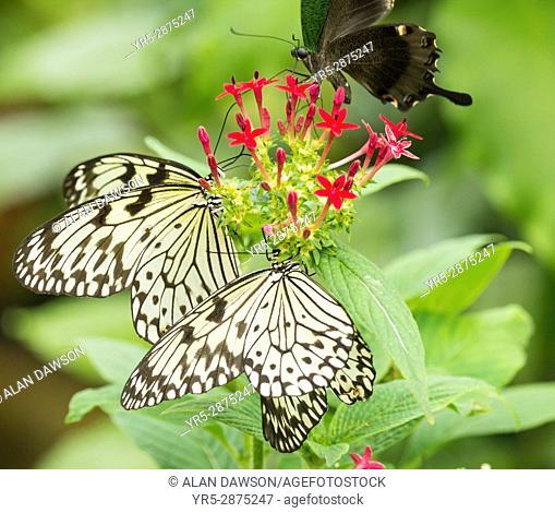 Butterfly World, Preston Park, Stockton on Tees, north east England, UK. PICTURED: Tree Nymph Butterflies ( Idea leuconoe )