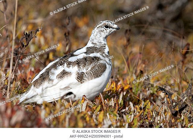 Spruce Ptarmigan changes to Winter plumage in Denali National Park & Preserve, Interior Alaska, Autumn