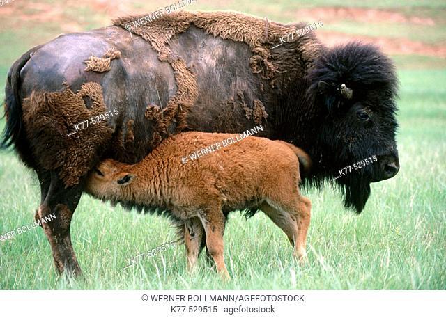 American Bison (Bison bison), cow and calf. Custer State Park, South Dakota, USA