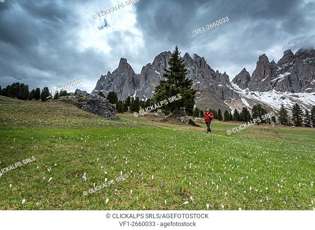 Funes Valley, Dolomites, South Tyrol, Italy. Flower meadow at the Malga Casnago