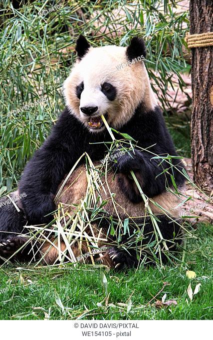 Adult Giant Panda eating bamboo at the Chengdu Research Base of Giant Panda Breeding, Chengdu, China