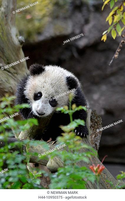 baby, giant panda, ailuropoda melanoleuca, panda, animal, portrait