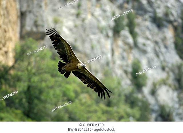 griffon vulture (Gyps fulvus), adult bird flying, Spain, Pyrenees, Anso-Tal