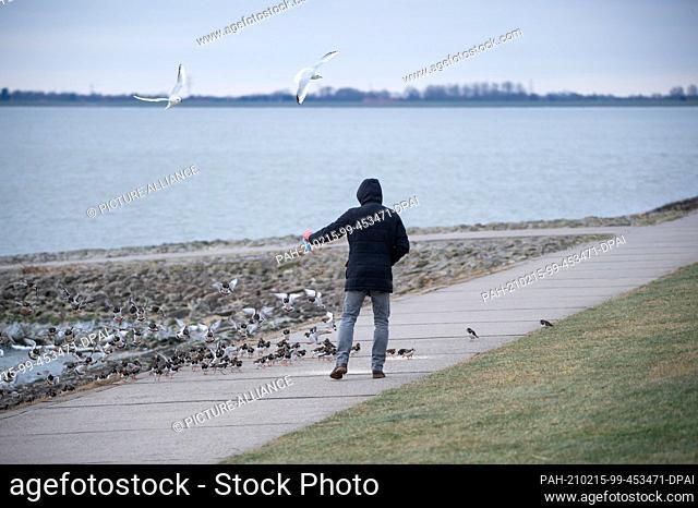 10 February 2021, Lower Saxony, Wilhelmshaven: Laughing gulls (Chroicocephalus ridibundus) and turnstones (Arenaria interpres) flutter and run around a man...