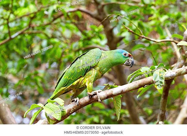 Brazil, Amazonas state, Amazon river basin, Festive amazon (Amazona festiva festiva), perch on a branch