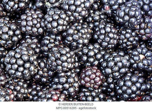 Shrubby Blackberry (Rubus fruticosus) picked fruits, Nijmegen, Netherlands